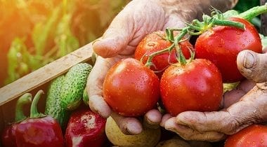 farmers hands holding tomatoes, fresh produce