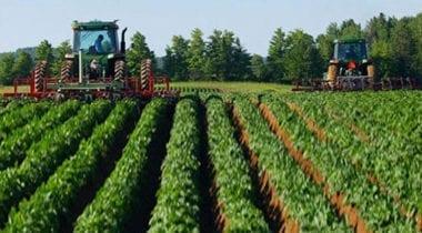 large potato field