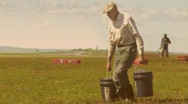 vintage photo of man gathering blueberries