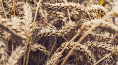 wheat grain, field