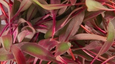 bulls blood micro greens